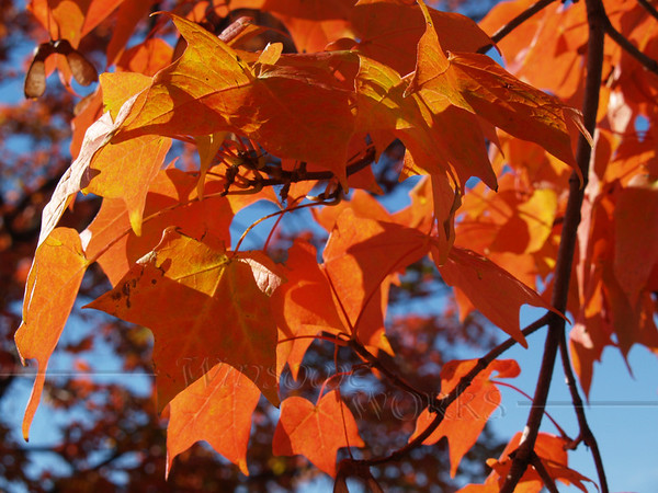 Sugar maple (Acer saccharum)