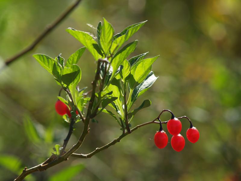 Fall berries needing i.d.--