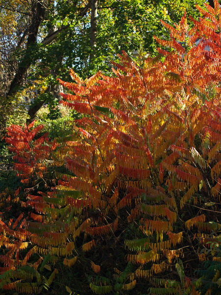 more sumac, wild and flaming