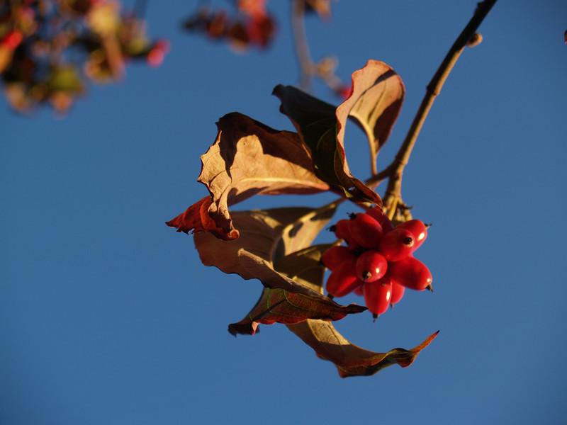 dogwood berries in Doylestown...