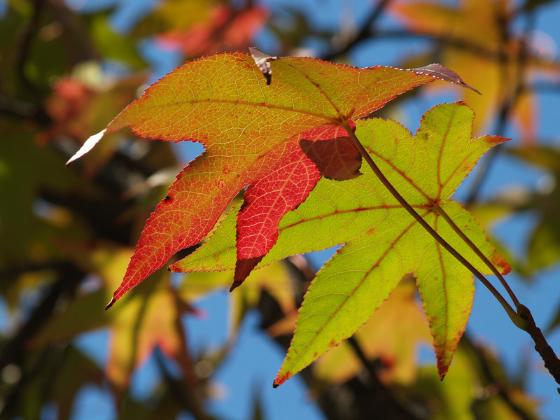Sweetgum leaves, back-lit...  I love the colorful veins in their leathery leaves