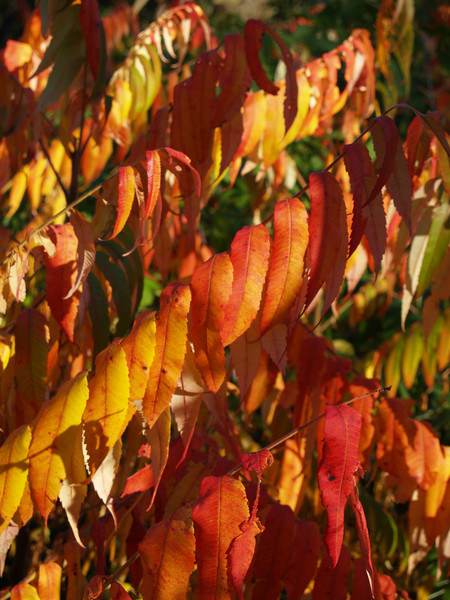 I brake for sumac in the fall!