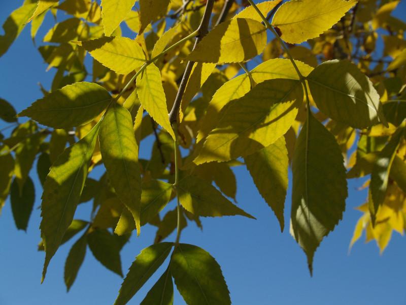 shagbark hickory leaves turning