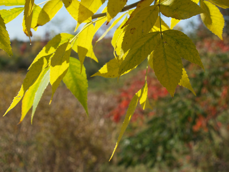 more hickory leaves, with sumac in background