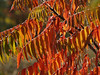 I promised more sumac... backlit!