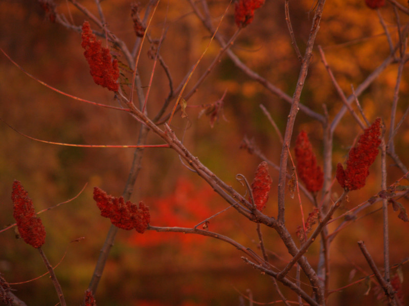 more sumac seed-pods near dusk