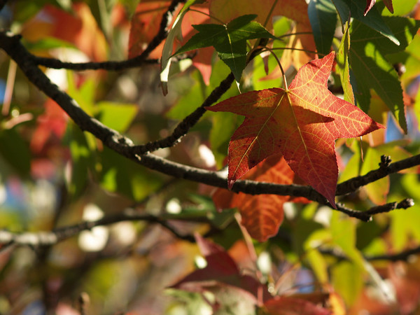 Changing sweetgum leaves (Liquidambar styraciflua)