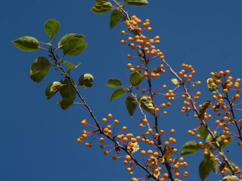 a type of yellow ornamental crabapple seen at the Montour Preserve