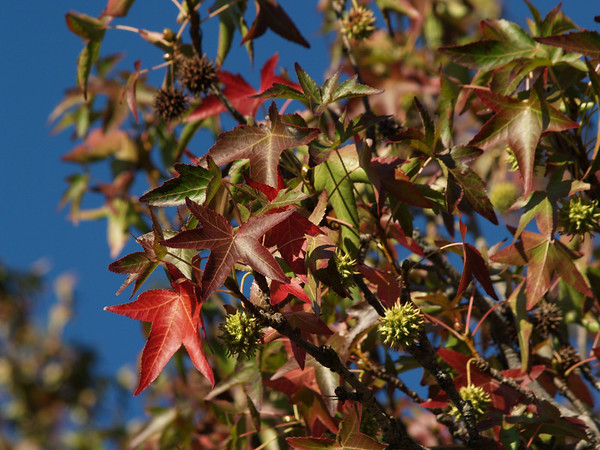 Changing sweetgum leaves