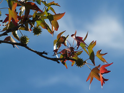 Changing sweetgum leaves