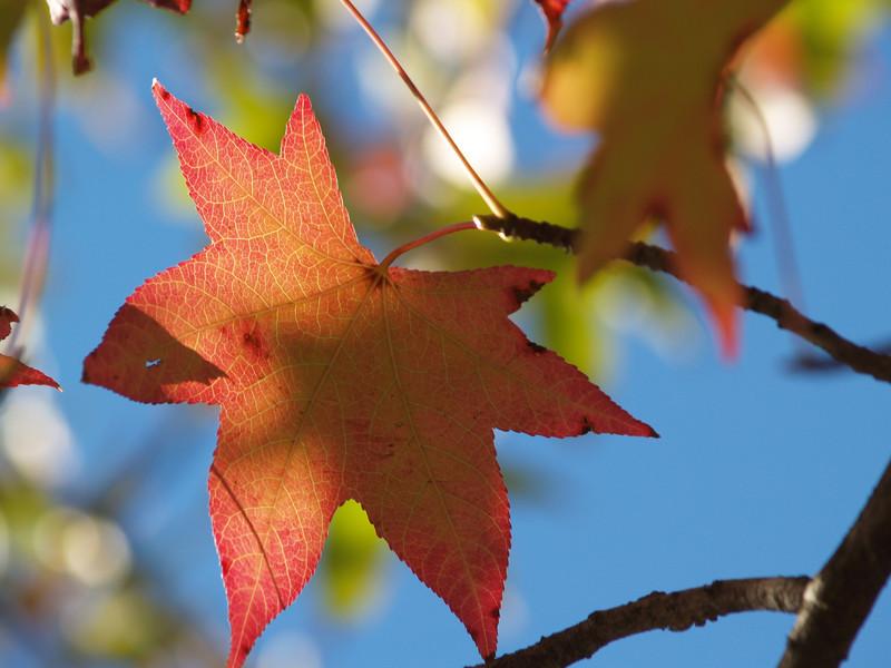 Sweetgum leaf (a.k.a. redgum)