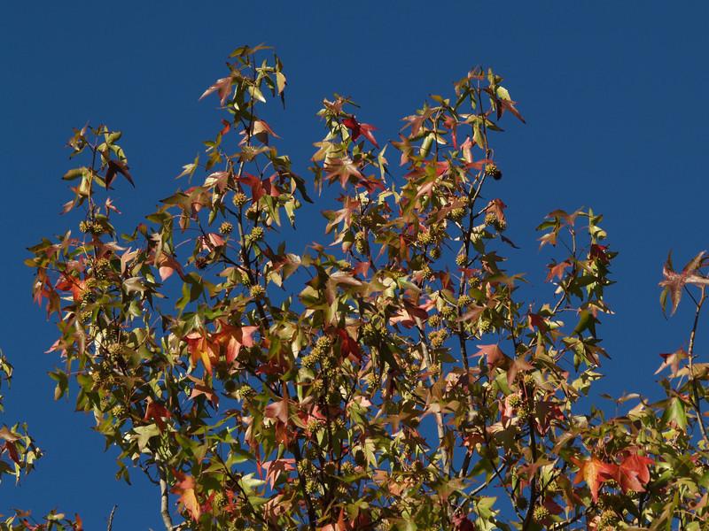 Changing sweetgum leaves (Liquidambar styraciflua)