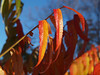 young sumac leaves in October