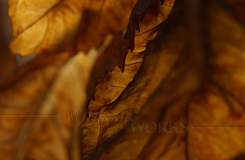Dead Hydrangea macrophylla leaves