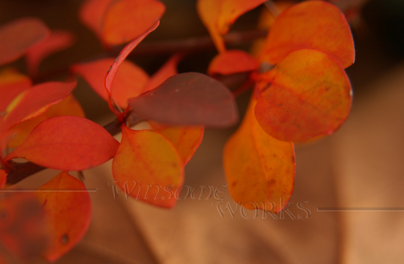 Barberry with dead Sugar maple leaves