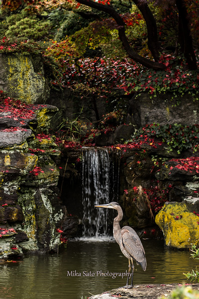 Japanese garden and  great blue heron