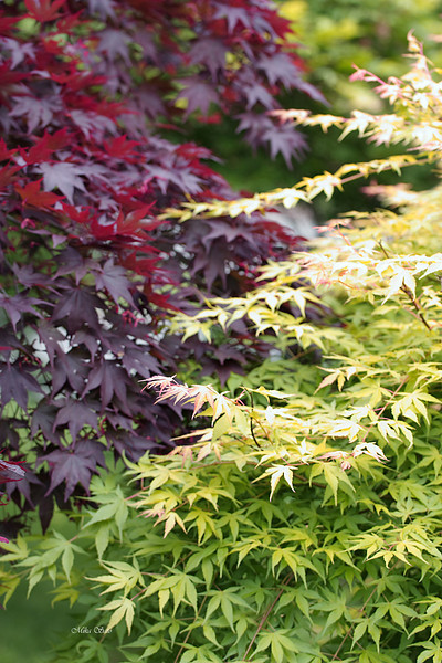 "Japanese Maple """"Fireglow"" and ""Katsura"""