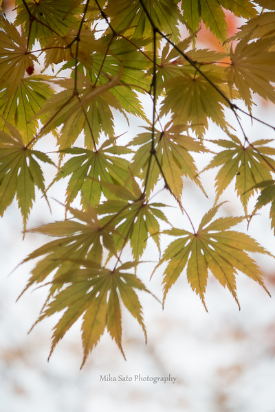 Japanese maple leaves (green)