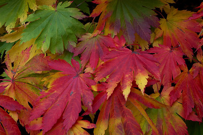 Japanese Maple turning to autumn colours