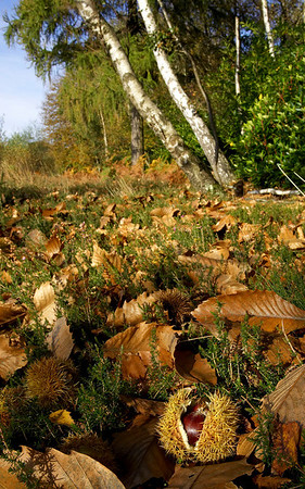 Sweet chestnut among fallen leaves