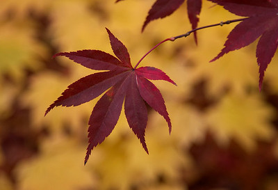 Turning Maple leaf against golden leaves