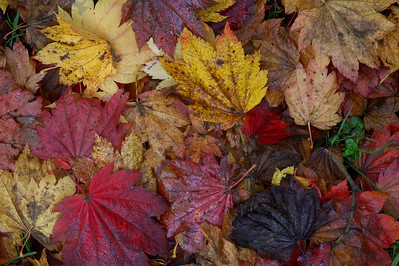 Colourful fallen maple leaves