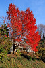 Autumn foliage by beautiful home near in Roslyn,NY.
