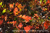 Gambel oak leaves in autumn; best viewed in the larger sizes