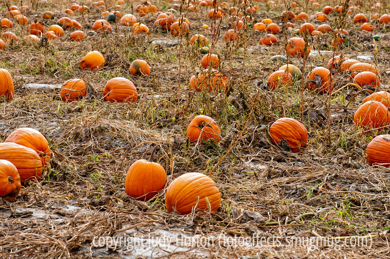 Pumpkin patch at Chatfield Park in Denver; best viewed in the larger sizes