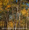 Aspen in Autumn, Mueller State Park, Colorado