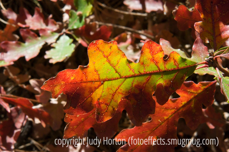 Gambel oak leaves in autumn; best viewed in the largest sizes