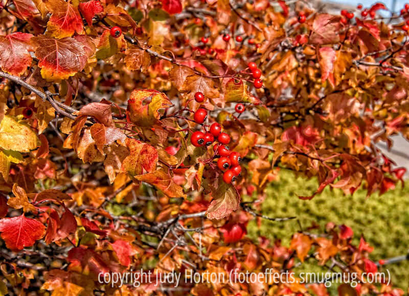 Autumn foliage and berries on a hawthorne