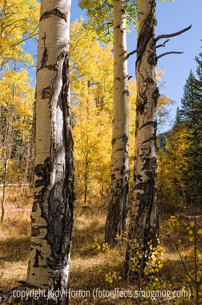 Aspens in the autumn in Colorado
