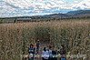 Inside the corn maze at Chatfield Park; best viewed in the largest sizes