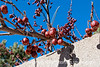 Crabapples in winter; best viewed in the largest sizes