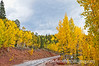 Aspen in autumn in Colorado; best viewed in the larger sizes