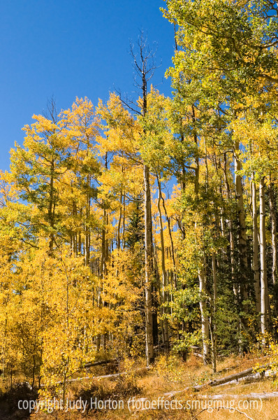 Aspen in autumn in Colorado along the trail to the Crags