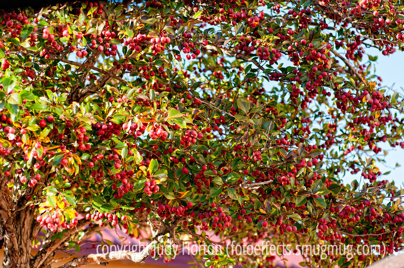 Hawthorn tree loaded with berries; best viewed in the larger sizes
