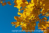 Maple leaves in autumn; best viewed in the largest sizes