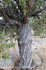 An old juniper tree in Castlewood State Park in Colorado; best viewed in the larger sizes