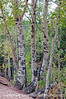 Aspen; best viewed in the largest size