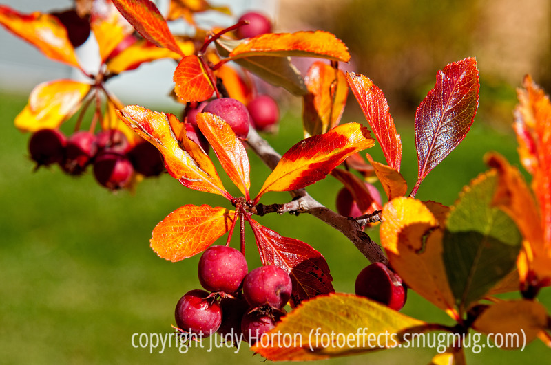 Crabapple in autumn; best viewed in the larger sizes