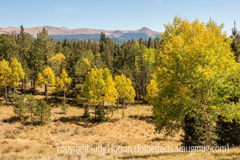 Aspen in Autumn in Mueller State Park, Colorado