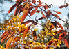 Autumn leaves of red osier dogwood; best viewed in the largest sizes
