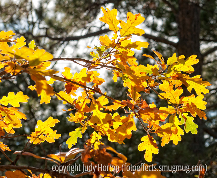 Autumn leaves of gambel oak; best viewed in the largest sizes