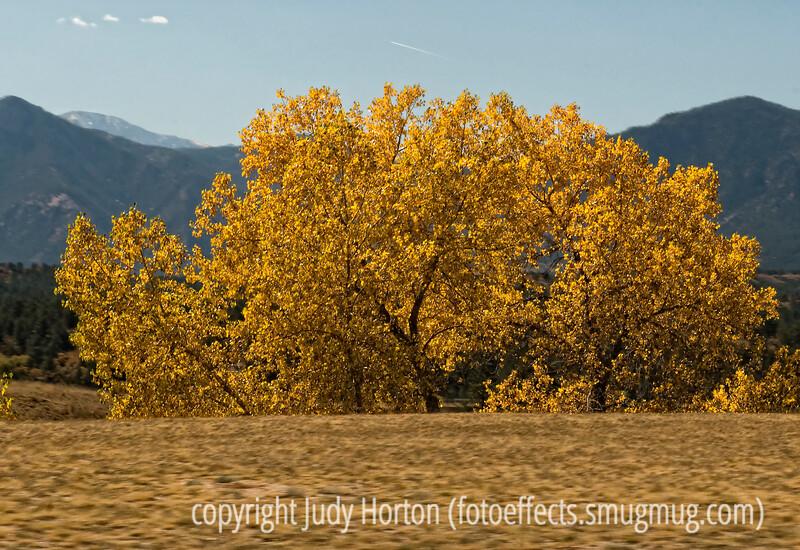 Cottonwood trees in autumn in Colorado