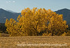 Cottonwood trees in autumn in Colorado