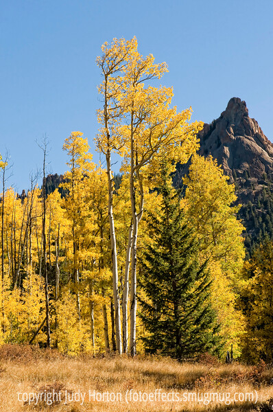 Aspen along the trail to the Crags in Colorado in the autumn; best viewed in the larger sizes