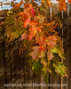 Hawthorne Leaves in Autumn