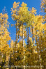 Aspen trees in the autumn in Colorado...along the trail to the Crags.